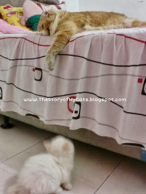 cara agar anak kucing akrab dengan jantan