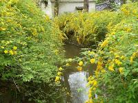川沿いに咲く黄金の花