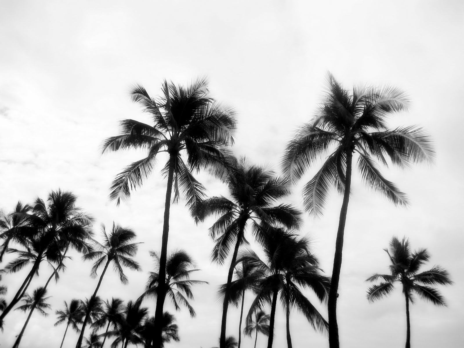 Black And White Photography Palm Trees Black And White Palm Tree