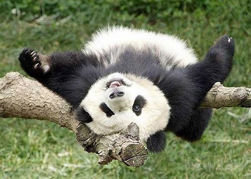 National Panda Day!