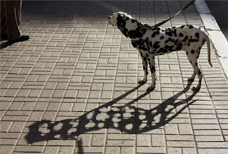 Funny Dalmatian