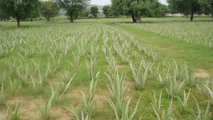 Plantation of Aloe Vera at our Farms