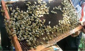 Peternakan Lebah Madu