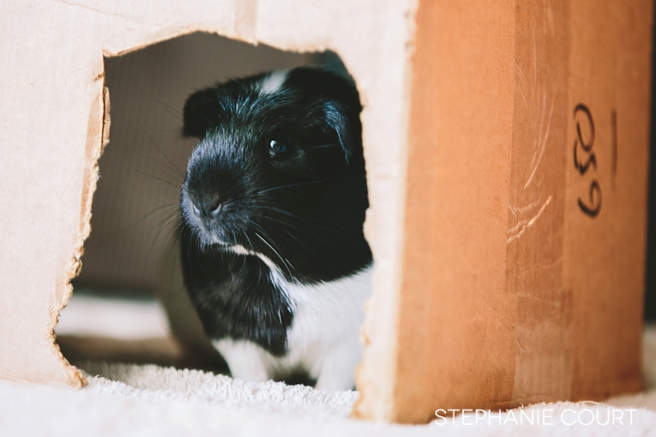 black and white baby guinea pig