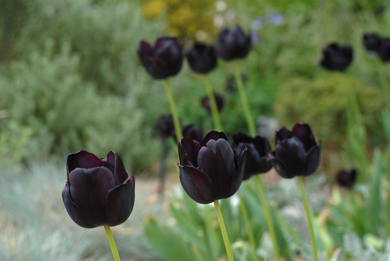 Black Flower Garden : Summer flower black flowers
