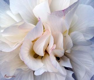 STHALPADMA or স্থলপদ্ম (Land-Lotus)