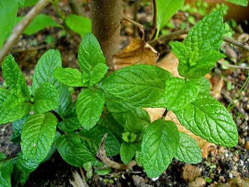 Ervas Afrodisíacas - Hortelã