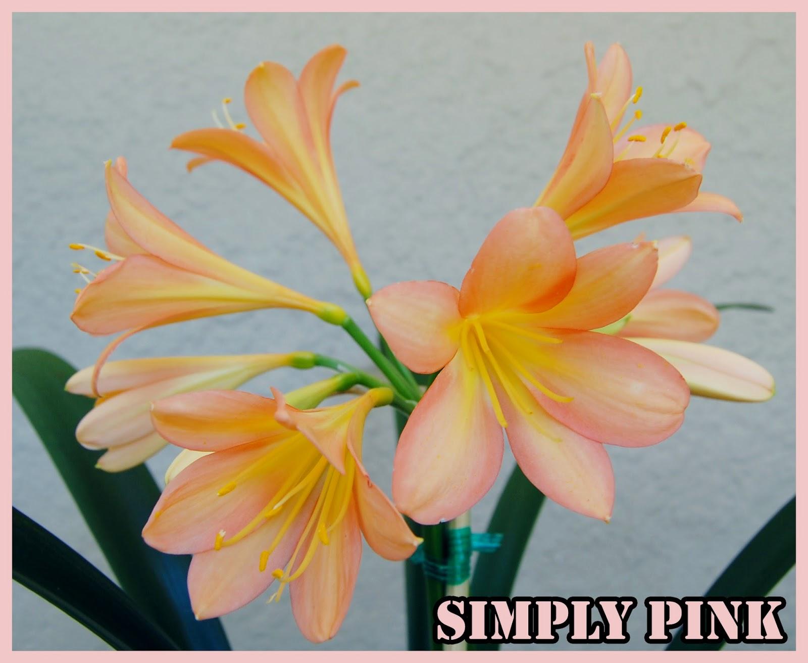 "Clivia Miniata ""SIMPLY PINK"""