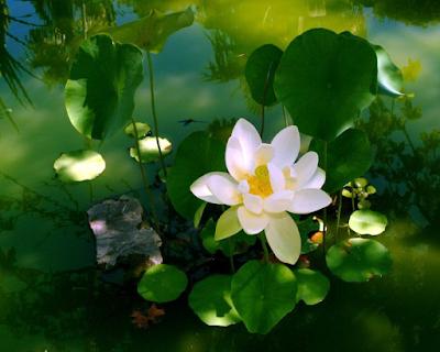 flor-de-lot-blanca-siria-grandet-feng-shui