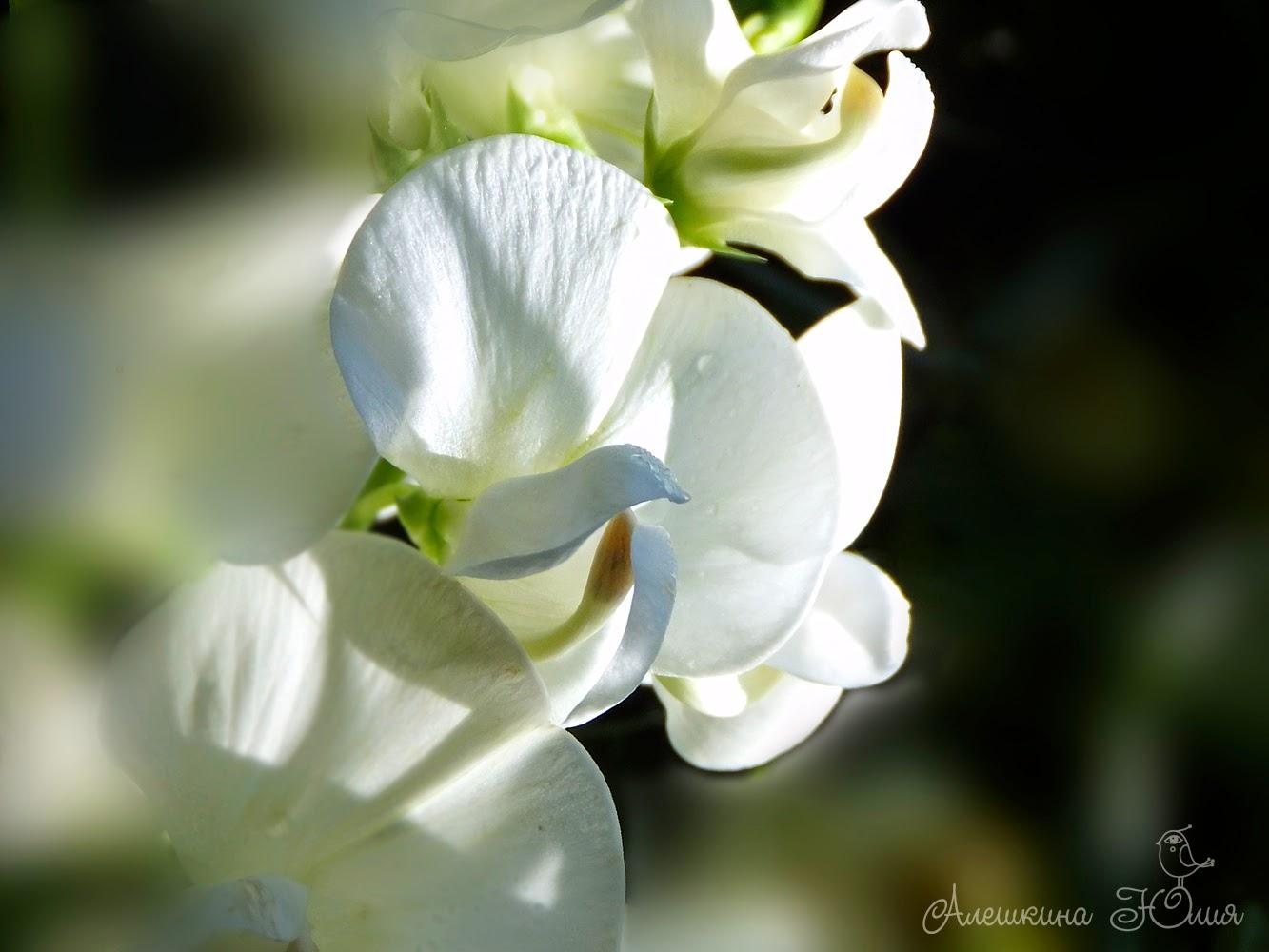 Цветы душистого горошка