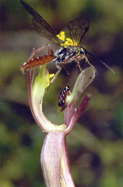 Male wasps visit large orchids to pollinate them