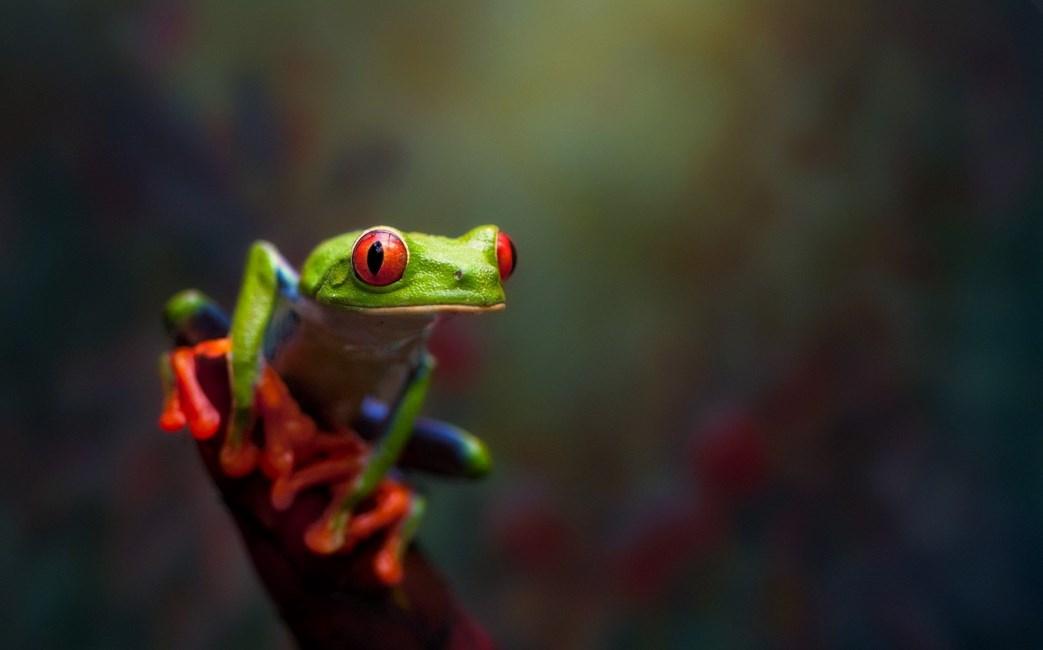 Fotografi Foto Macro Katak dan Fakta Unik Tentang Katak dengan mata merah