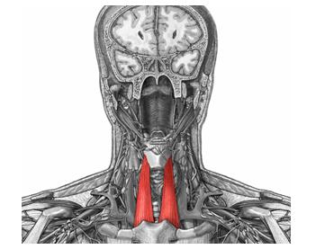 Morfofunci n cabeza y cuello m sculos infrahioides for Esternohioideo y esternotiroideo