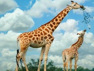 Žirafe download besplatne pozadine slike za mobitele