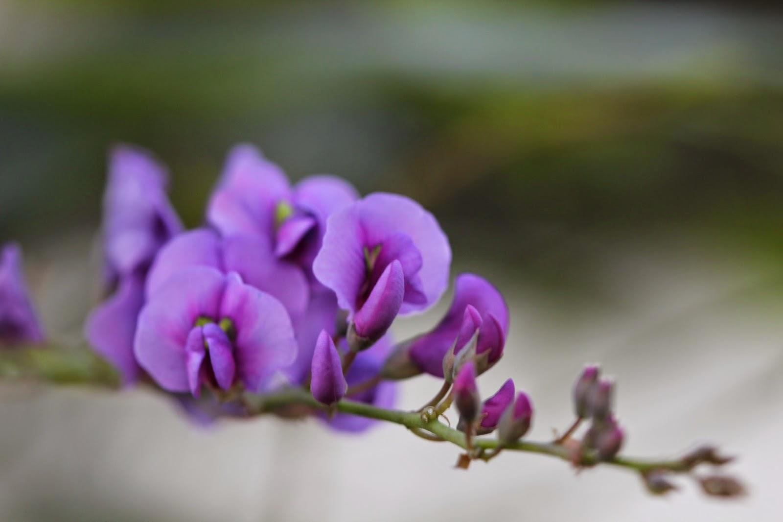 Purple Vine Flower at the Getty Villa by Madder Hatter