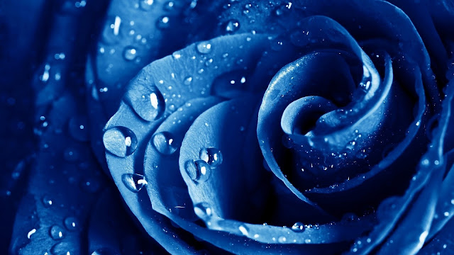 Rosa Azul con gotas de agua