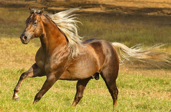 QUARTO DE MILHA ETERNALY ROJO JR ~ Wallpaper Cavalos Quarto De Milha