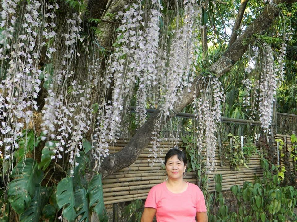 Hạc vỹ lào ra hoa ngay sau Tết âm lịch, hoa buông rủ thướt tha theo gió, một loại lan rừng tuyệt đẹp