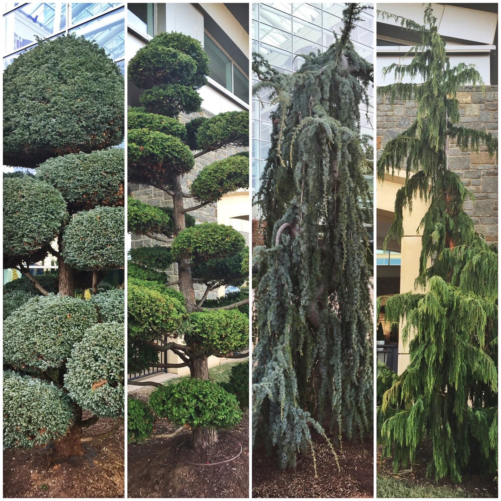 different kinds of conifer trees