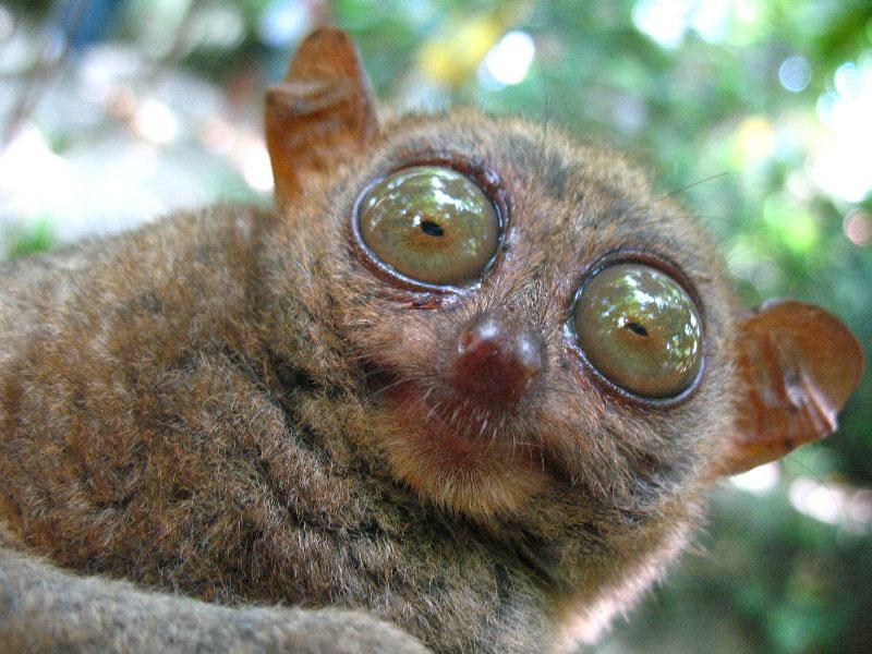 Tarsier | Animal Wildlife