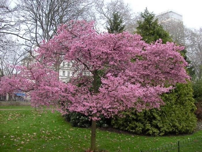 nursery plants how to flowering cherry tree. Black Bedroom Furniture Sets. Home Design Ideas