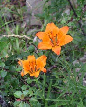Lilium Bulbiferum (giglio rosso)