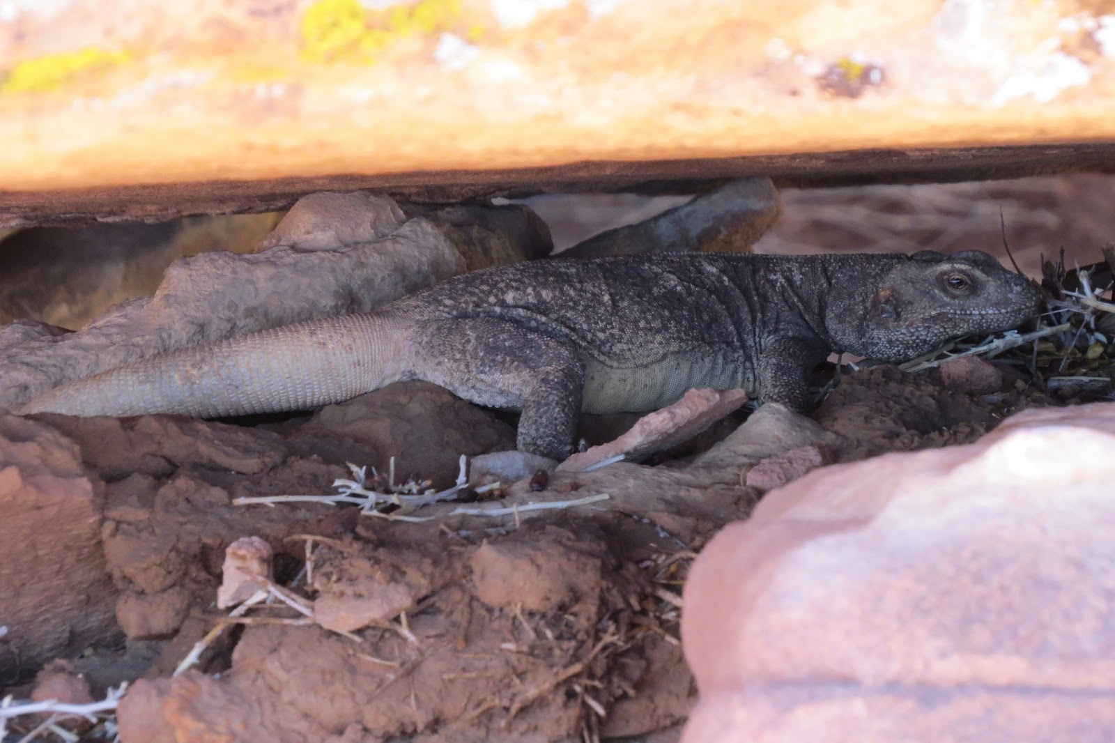 Valley of Fire State Park chuckwalla