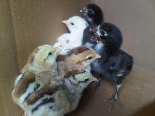 Saparifarm: Peternak Ayam Aduan, Ayam Birma, Bangkok, Pakhoy, Saigon