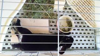 ぴやっとストーンで寝るうさぎ、ミニレッキスのモモタス