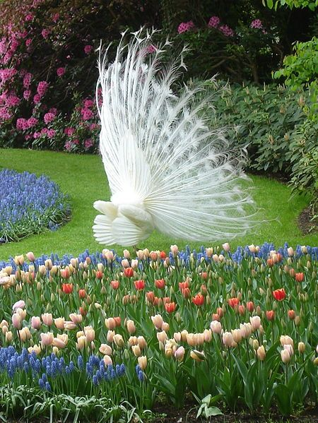 White peacock at the Keukenhof