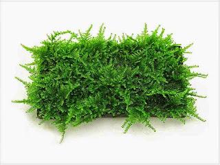 gambar-lempeng-Christmas-Moss-Vesicularia-Montagnei-tanaman-moss-tanaman-aquascape