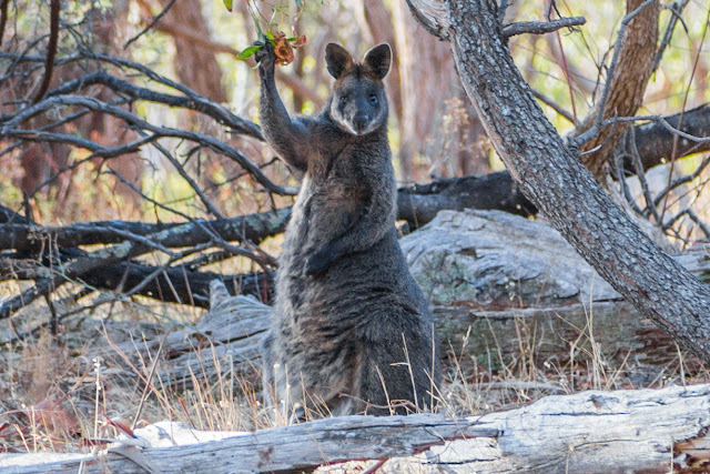 wallaby paw in the air waving