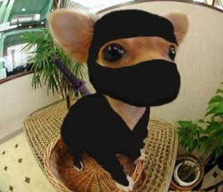 Chihuahua buffo ninja