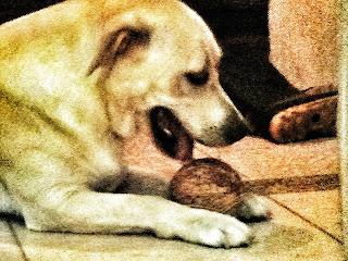 Cão labrador brinca com um coco - imagem em cores.