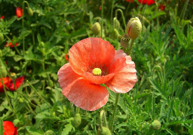 Corn Poppy Flowers Pictures