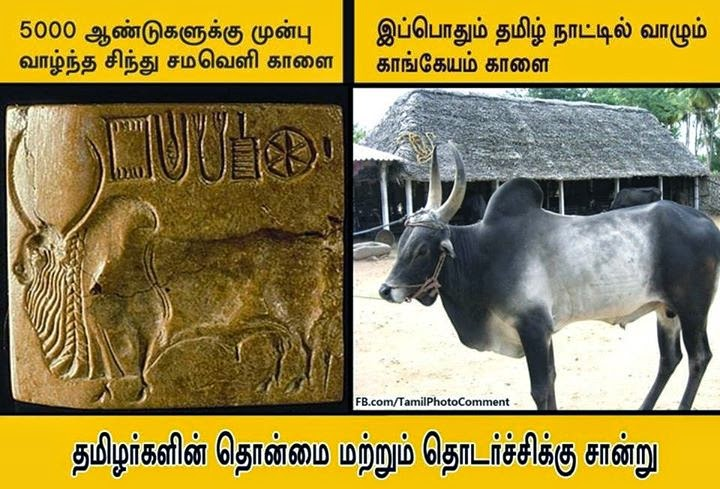 Uniformity between Indus civilization bull and today's Tamilnadu bull! - A proof for the ancientry of bull taming!