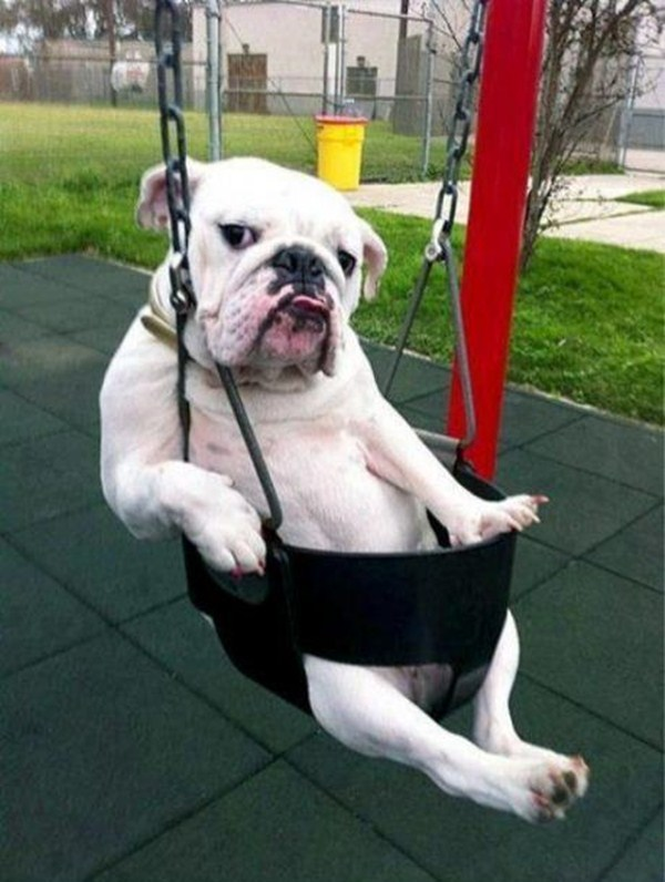 funny animal pics, animal photos, dog in swing