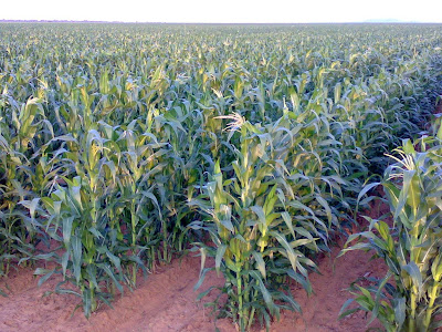 Maize-Farm