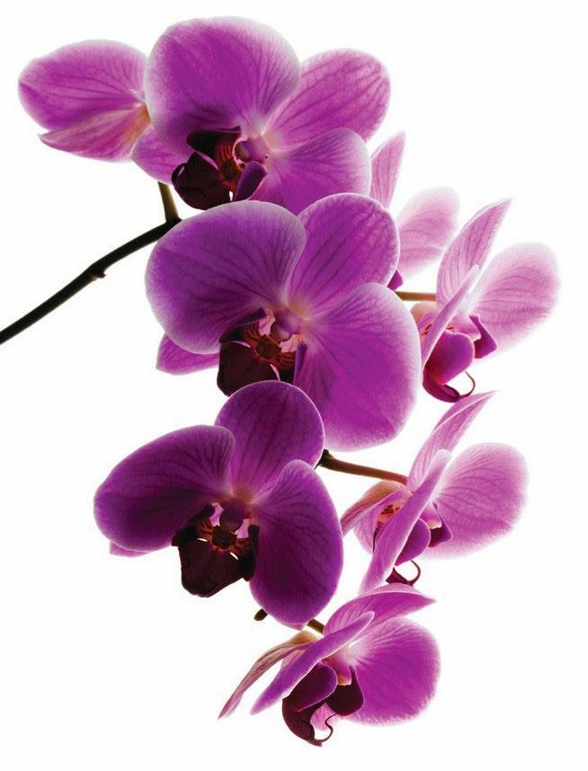 Purple Orchid Flower Free Download Wallpaper (654 x 858 )