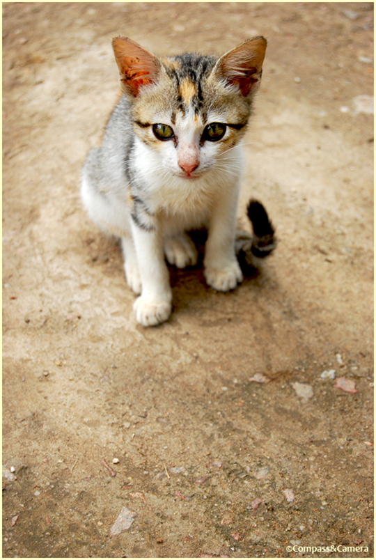 Cat from Tioman Island