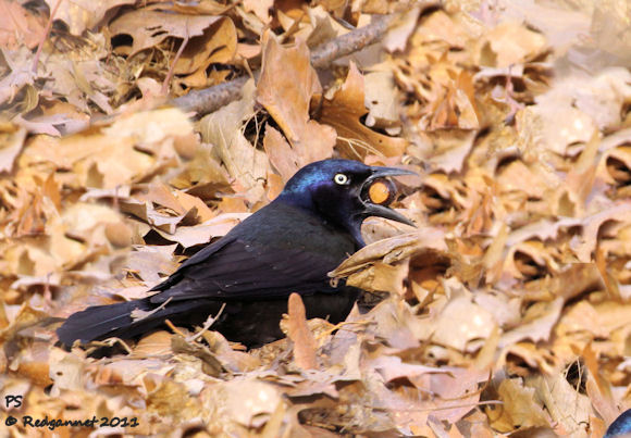 common grackle female. common grackle female. common