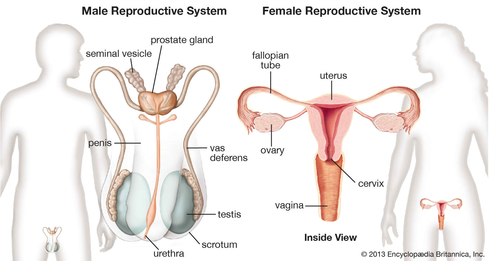 Pitzviews Learning Reproductive System Definition Of Terms
