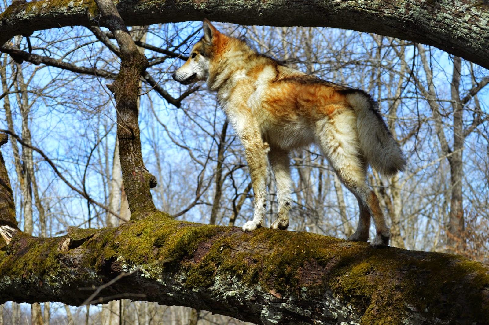 wolfdog climbing tree, wolf hybrid climbing tree