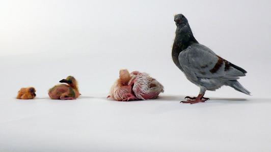 Fotos de palomas mensajeras de colores 71