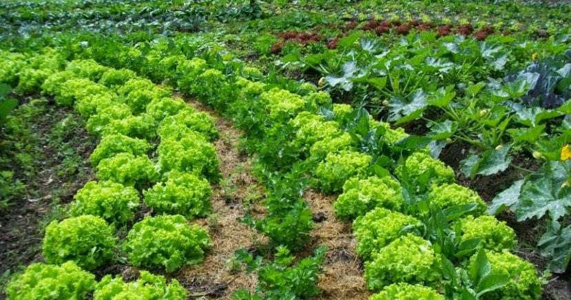 Cultivar el huerto casero beneficios de la asociaci n de for Asociacion de plantas en el huerto