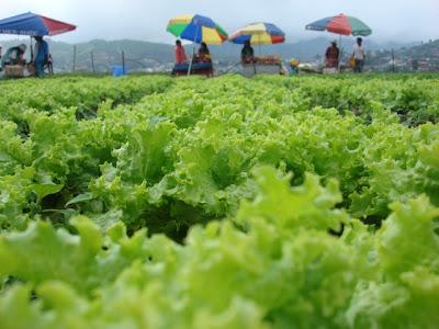 La Trinidad lettuce farm_01
