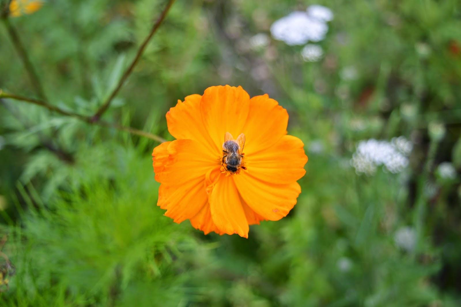 Le jardin de marianne une jach re fleurie - Fleur de jachere ...