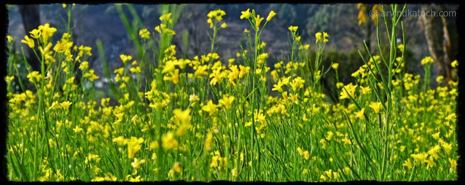 Mustard, Mustard Flowers, Yellow Flowers