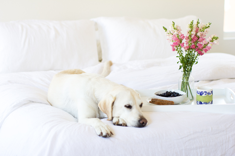 yellow labrador, white linen bedding, white bedroom