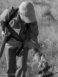 Brittany retrieving Hungarian partridge.
